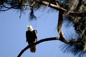 eagle-in-tree-at-lake-howard-comp1